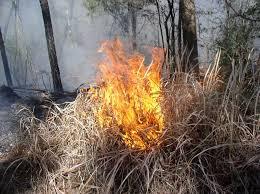 cogon grass fire